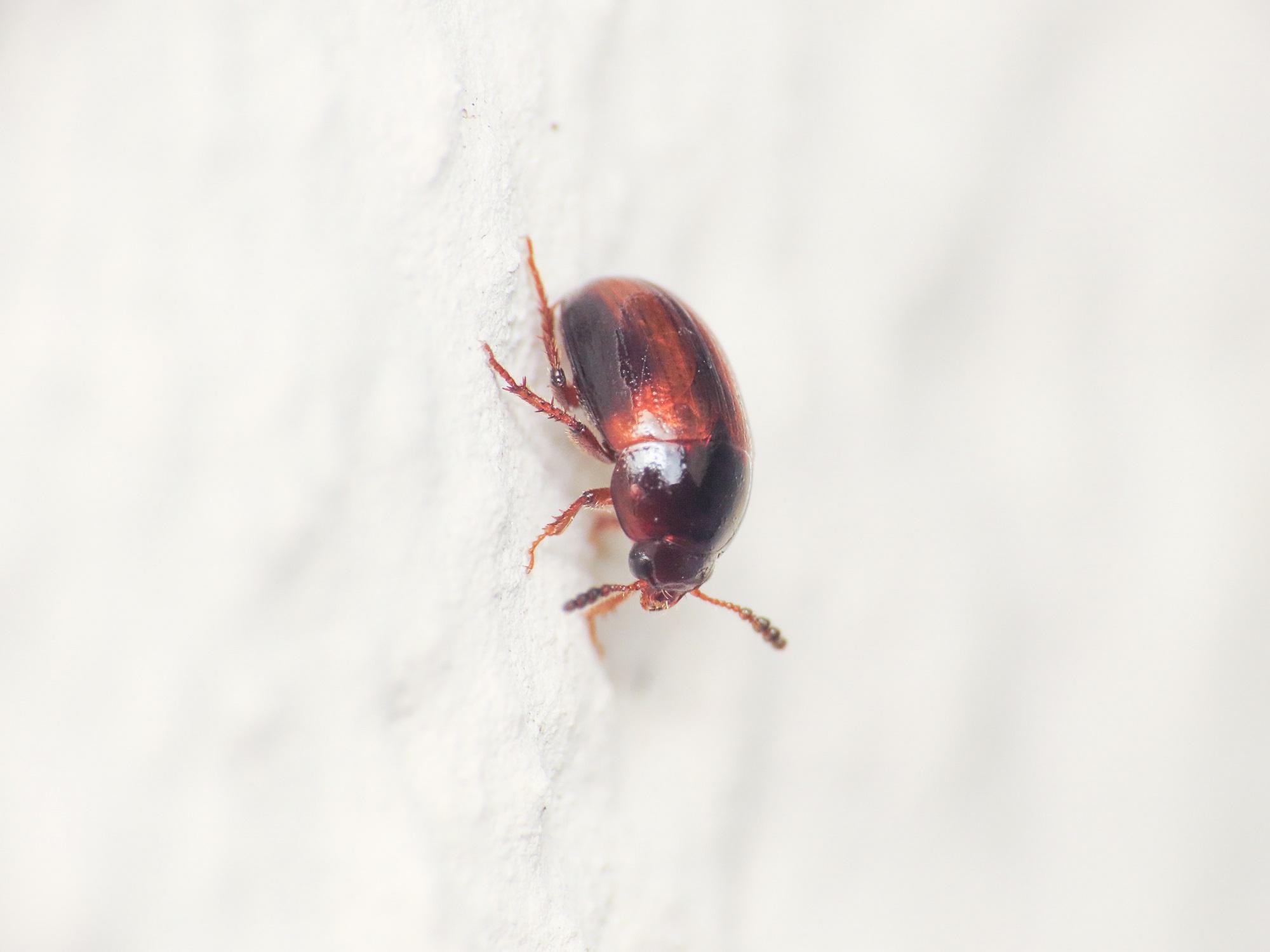 Leiodidae: Leiodes sp.,