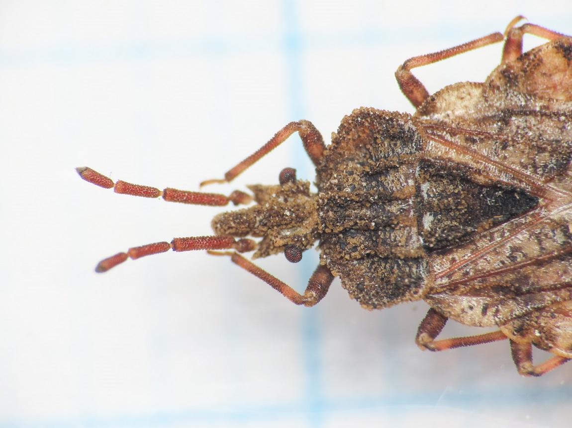 Aradidae: Aradus conspicuus