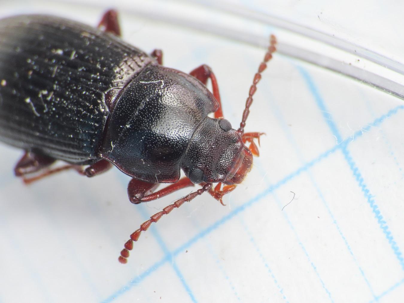 Tenebrionidae: Nalassus planipennis
