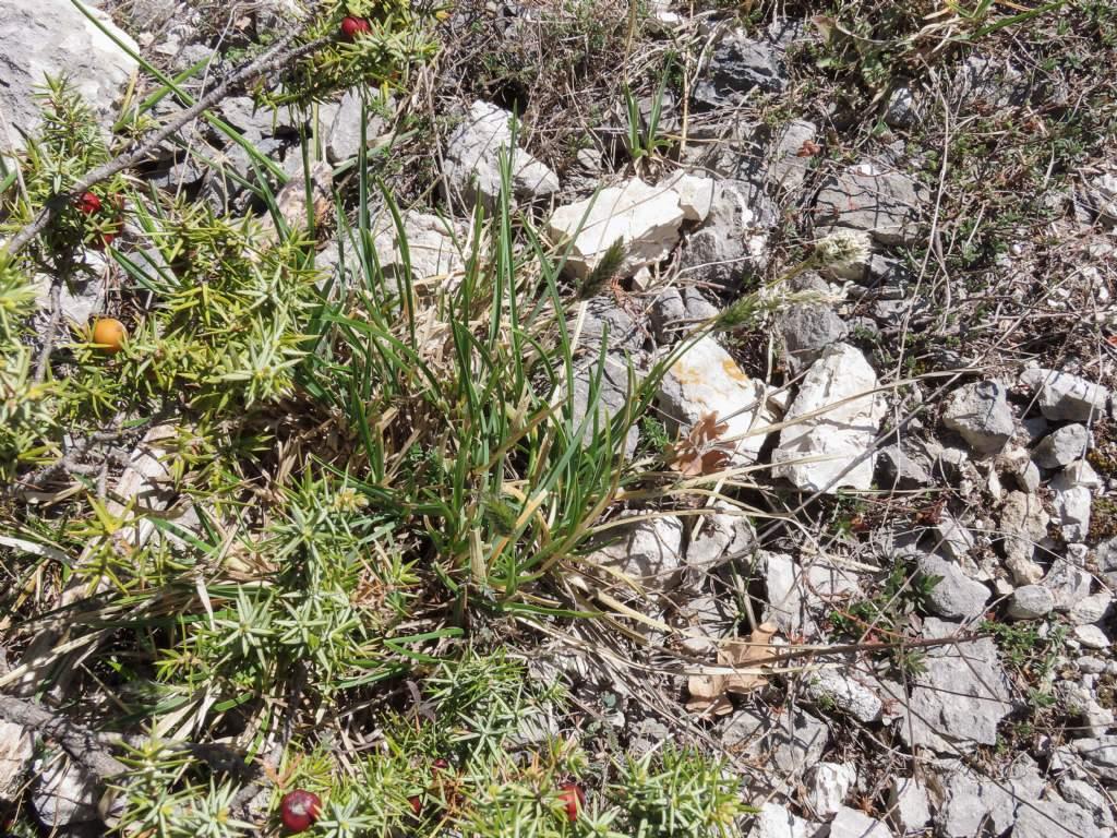 Poaceae: Sesleria cfr. nitida