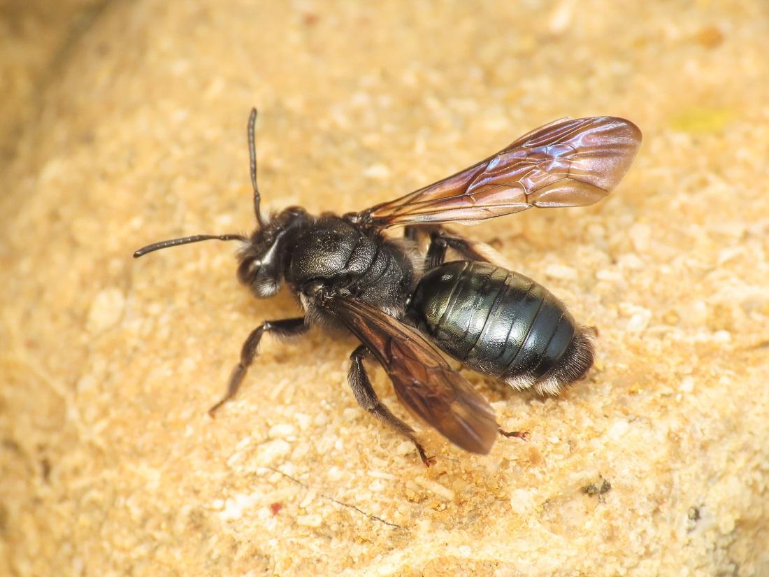 Apidae? Apidae Andreninae: cfr. Andrena agilissima