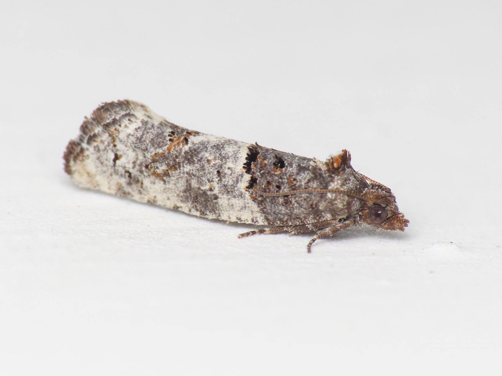 Tortricidae: Phaneta pauperana