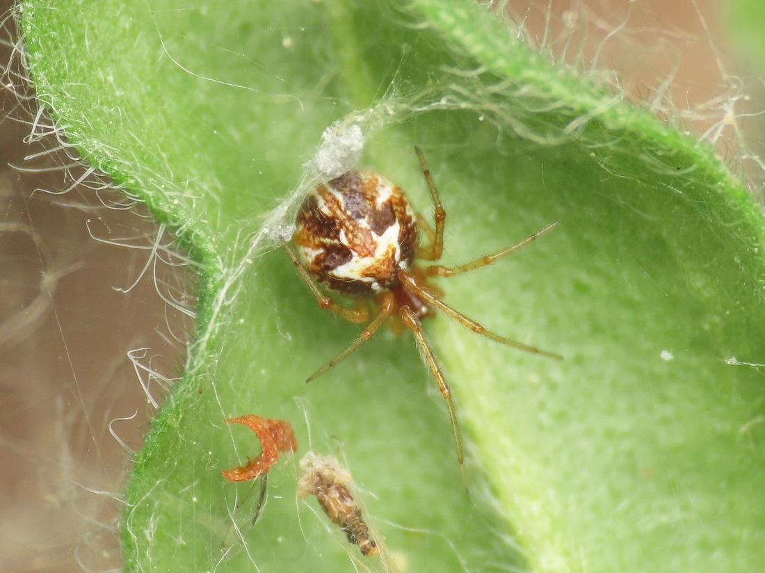 Theridiidae: Simitidion simile - Bazzano (AQ)