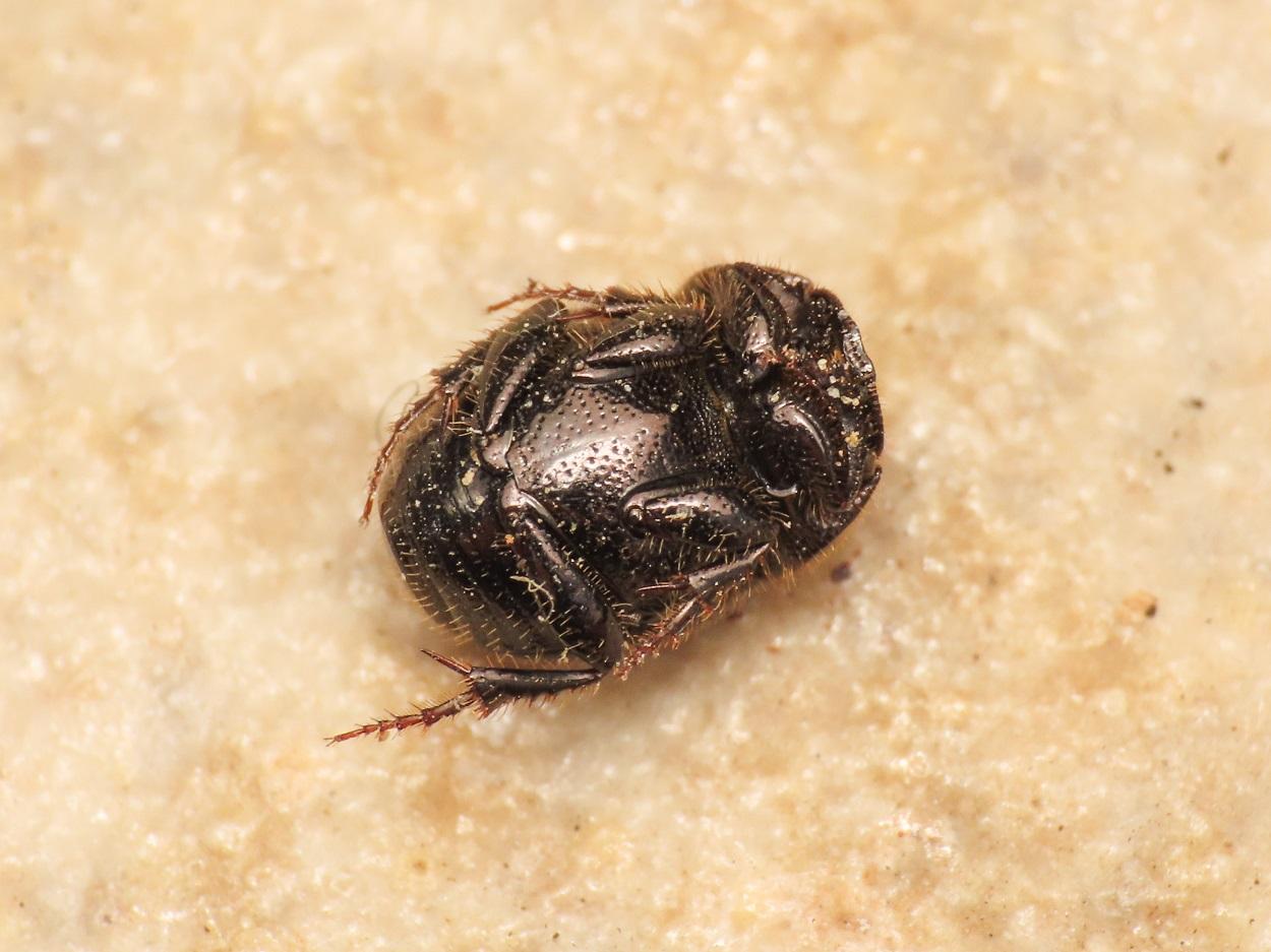 Scarabaeidae: Onthophagus? Sì, O. (Palaeonthophagus) gr. ovatus