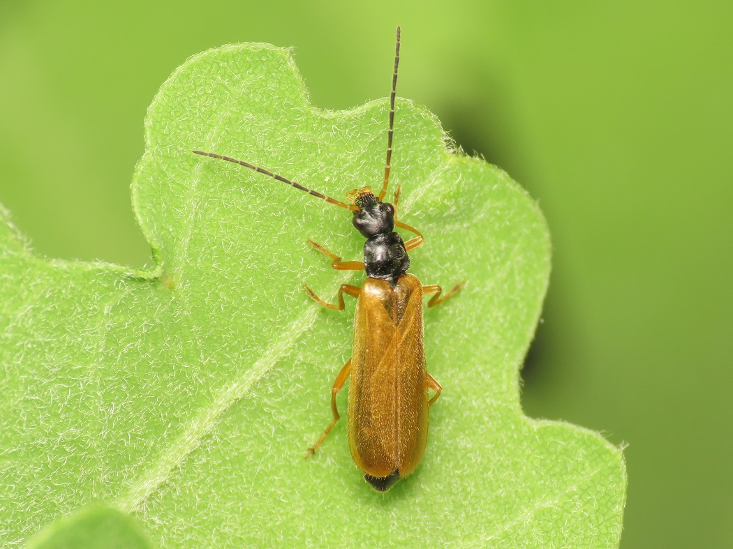 Cantharidae: Rhagonycha lignosa