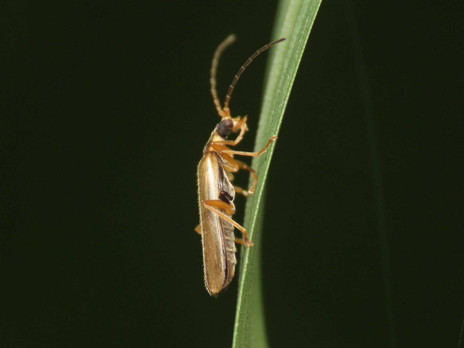 Cantharidae: Malthacus procerulus