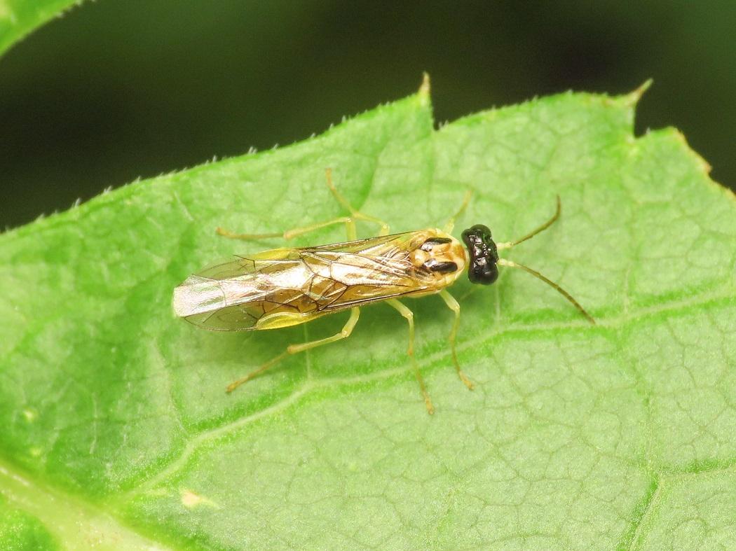 Tenthredinidae da identificare: Stromboceros delicatulus
