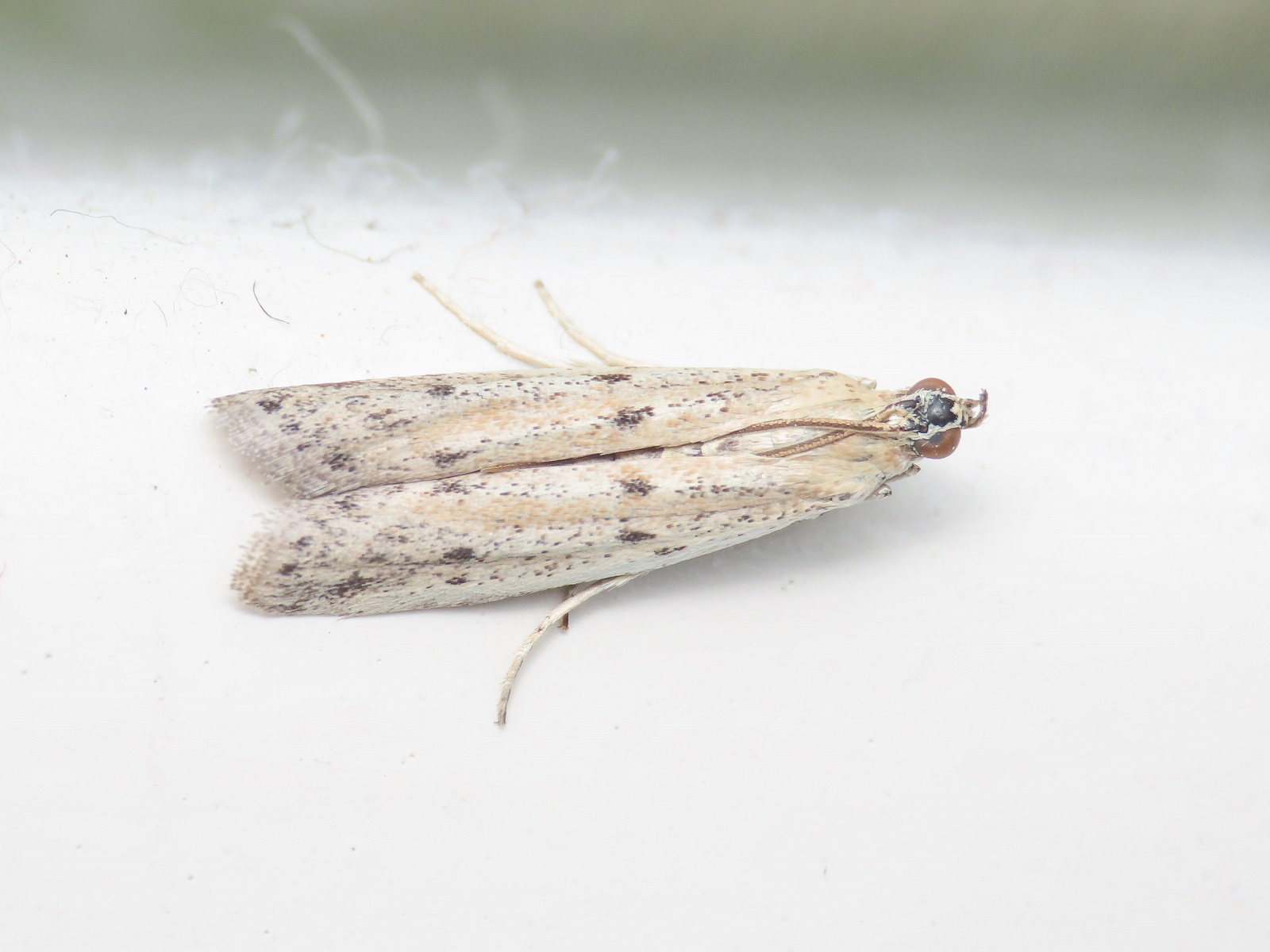 Pyralidae? Sì, Phycitodes sp.
