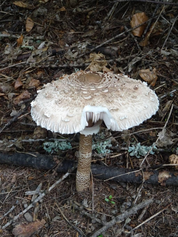 Funghi valdostani da identificare