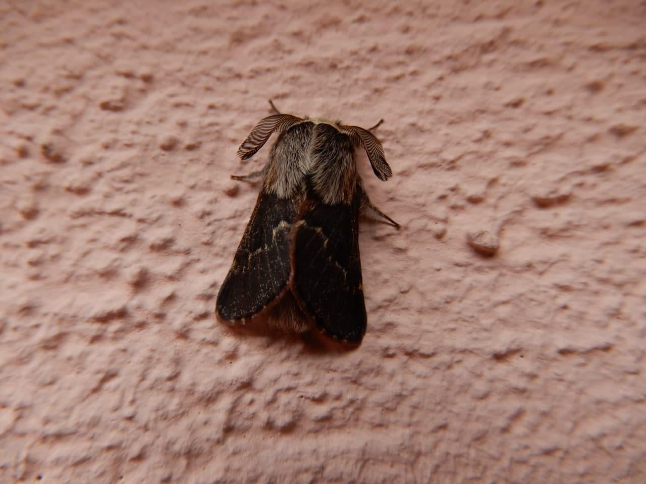 Poecilocampa populi, maschio - Lasiocampidae