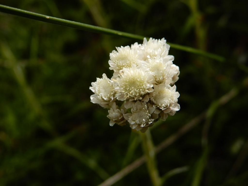Antennaria sp.