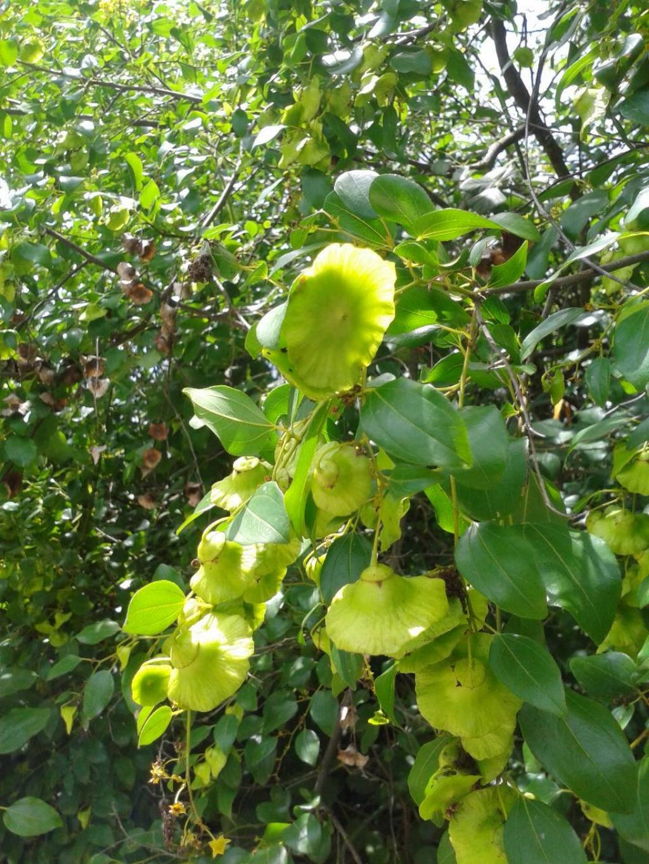 Paliurus spina-christi (Rhamnaceae)