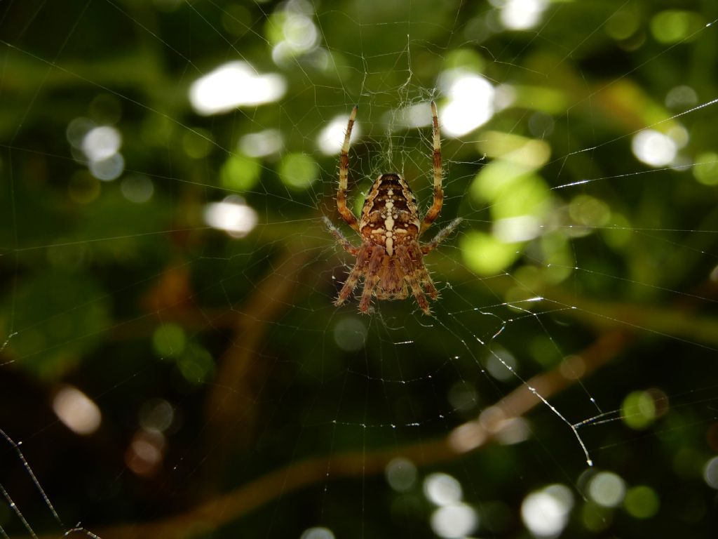 Araneus diadematus - Vallagarina (TN)