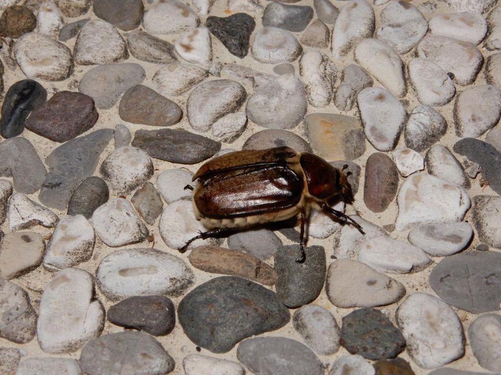 Melolonthidae: Anoxia villosa, femmina