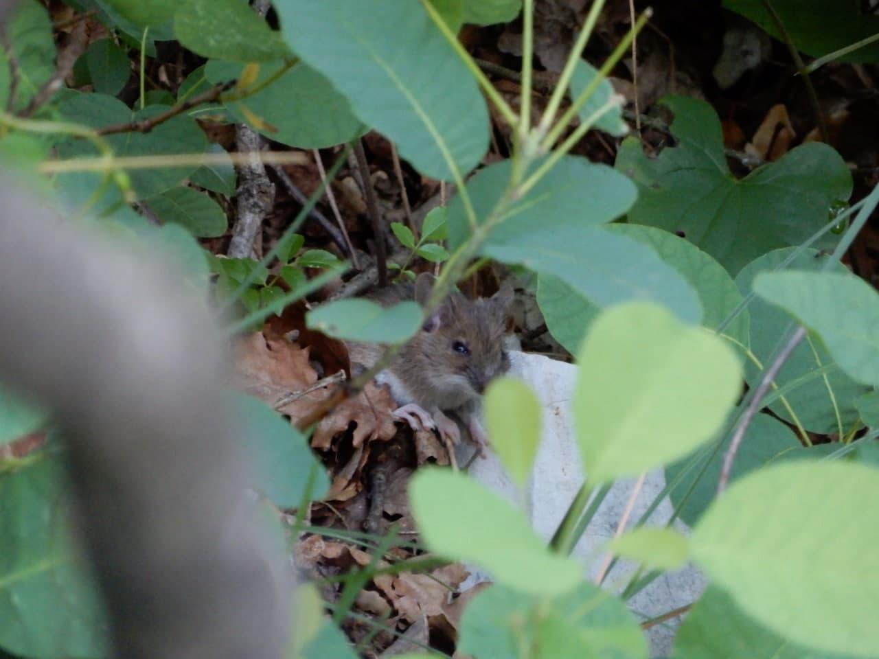 Topo comune (Mus musculus)