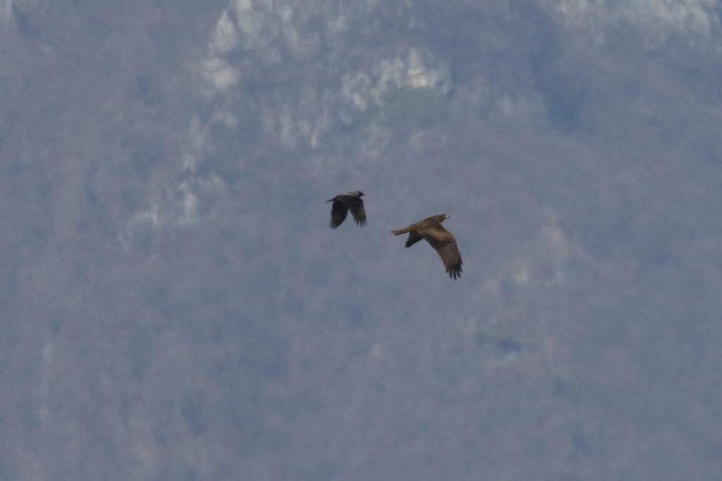 Poiana?  Nibbio bruno  (Milvus migrans) e Poiana (Buteo buteo)