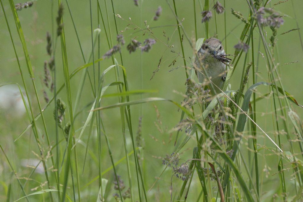 Averla piccola (Lanius collurio), femmina