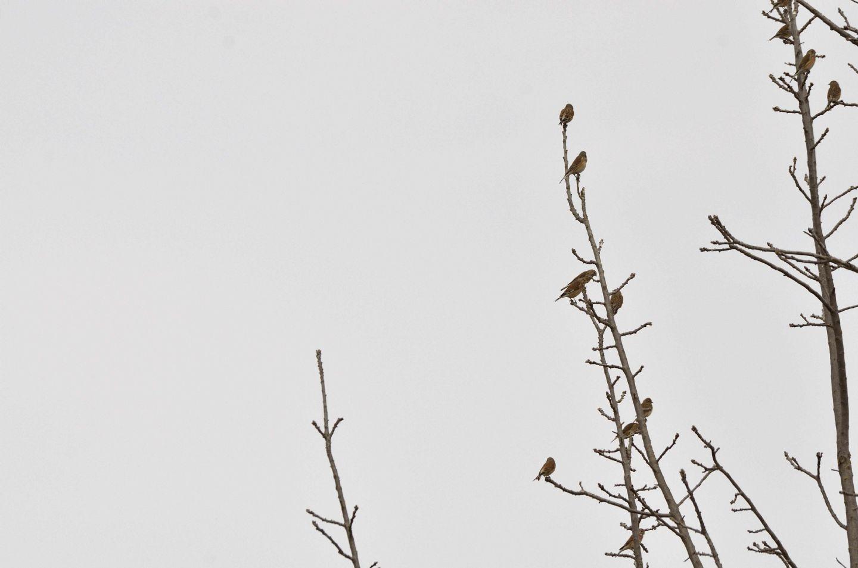 Fanelli (Linaria cannabina)