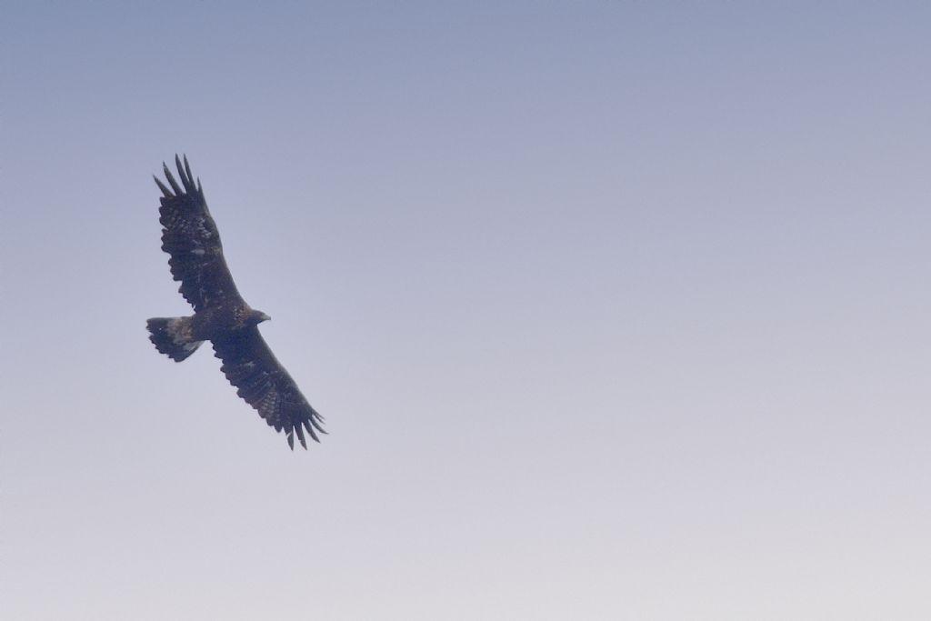 Aquila?  Sì,  Aquila reale (Aquila chrysaetos)