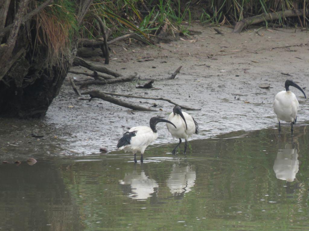 Ibis Sacro (Threskiornis aethiopicus)