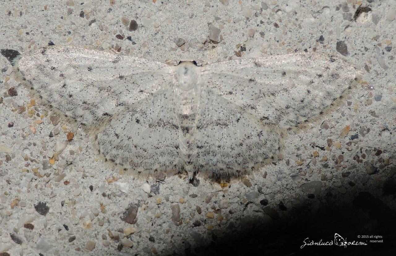 Idaea seriata e Scopula (Calothysanis) minorata