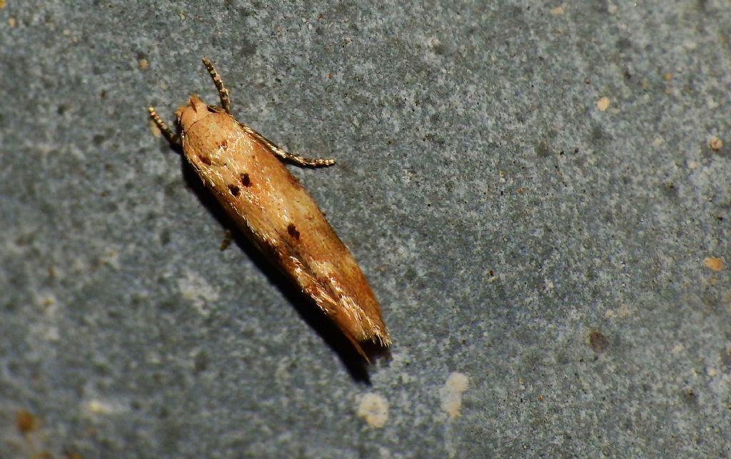 Mompha (Mompha) epilobiella