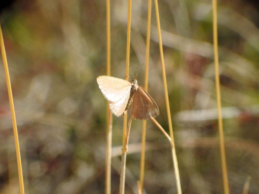 Minoa murinata (Geometridae)