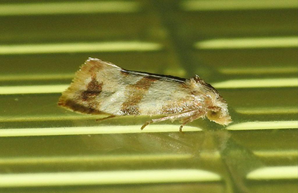 Tortricidae: Phalonidia contractana