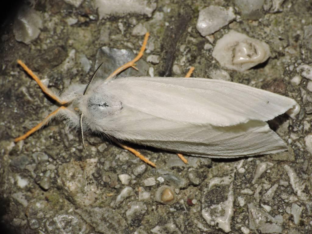 Falena da Id.2 -  Laelia coenosa