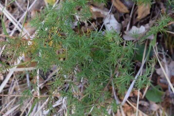 Rubiaceae: Galium sp.?  No,  Asperula purpurea