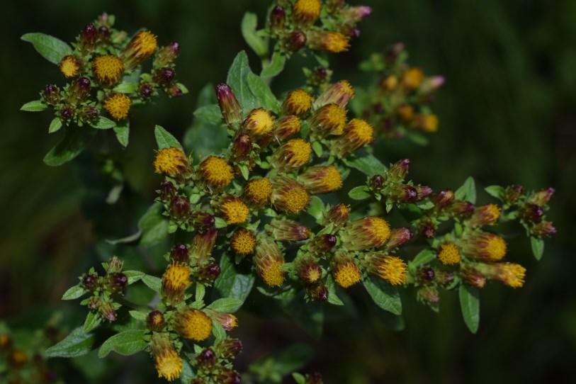 Inula conyzae (Asteraceae)