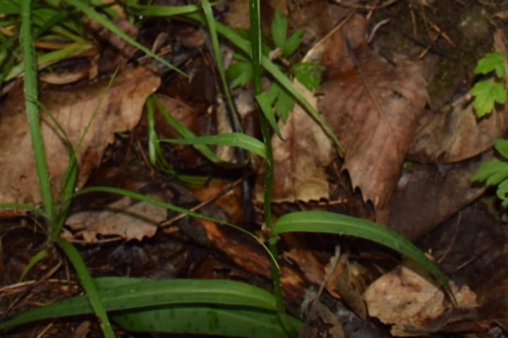 Due Dactylorhiza