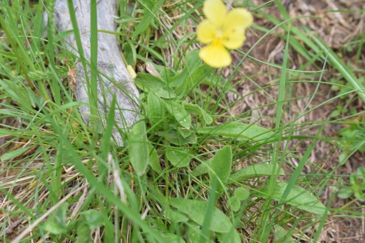 Quale viola?  Viola gr. calcarata (Viola ferrarinii ?)