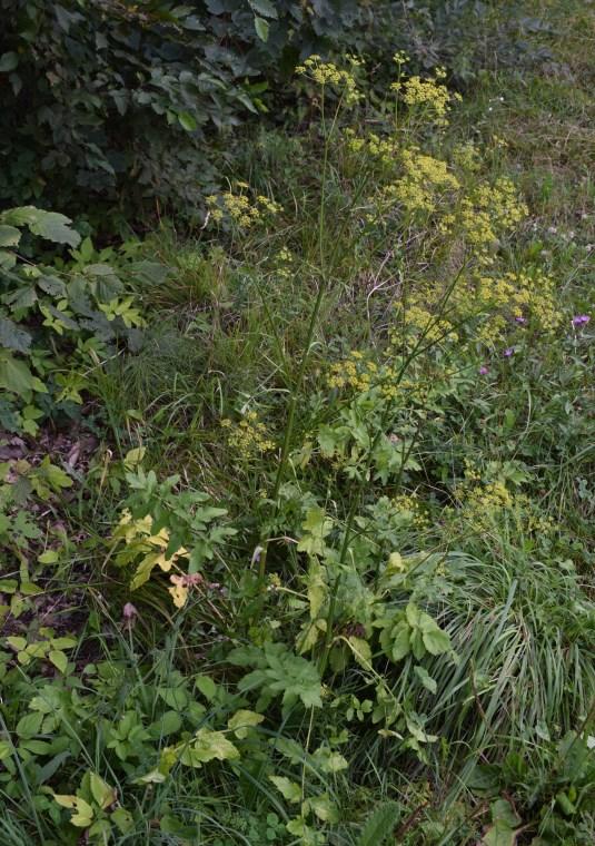 Asteracea gialla? No, Apiaceae: Pastinaca sativa