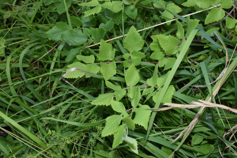 Asteracea gialla?  No, Apiaceae: cfr. Tommasinia altissima