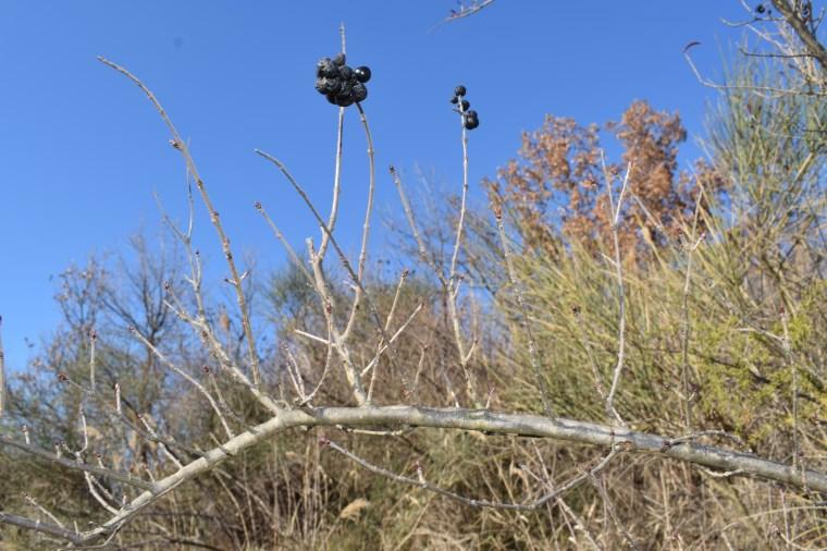 Che pianta è?  Ligustrum vulgare