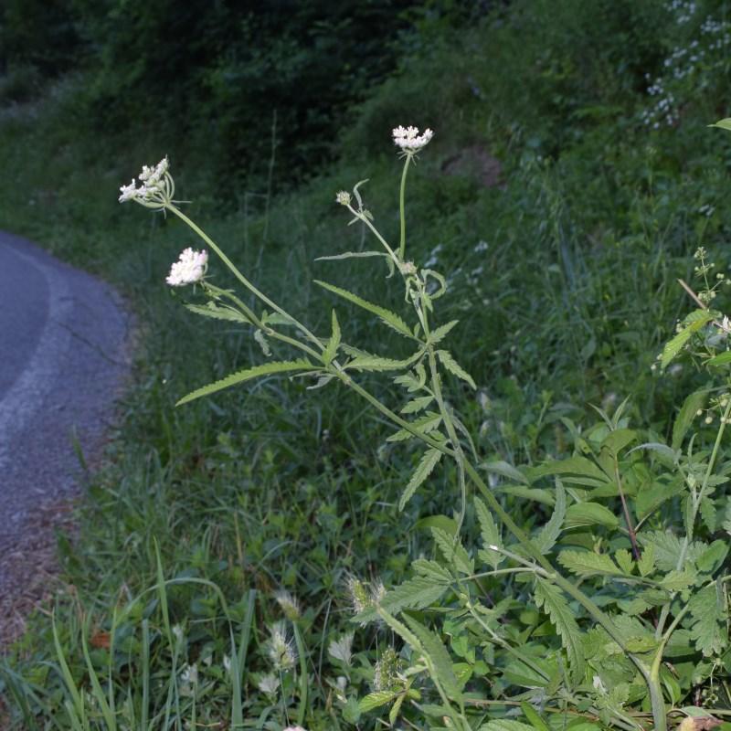 Torilis japonica (Apiaceae)