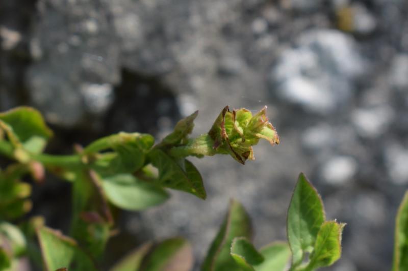 Che pianta è? Convolvulus sp.