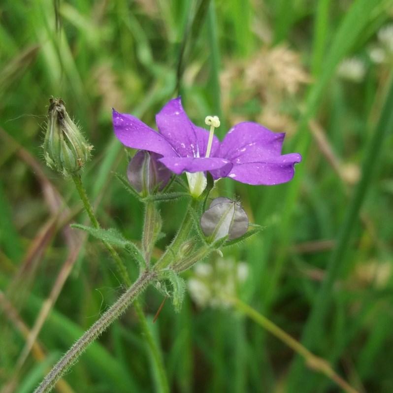 Che pianta è? Legousia speculum-veneris (Campanulaceae)