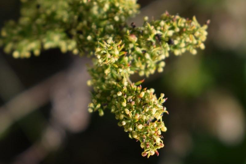 Rubiaceae? Sì, Asperula purpurea e Galium sp.