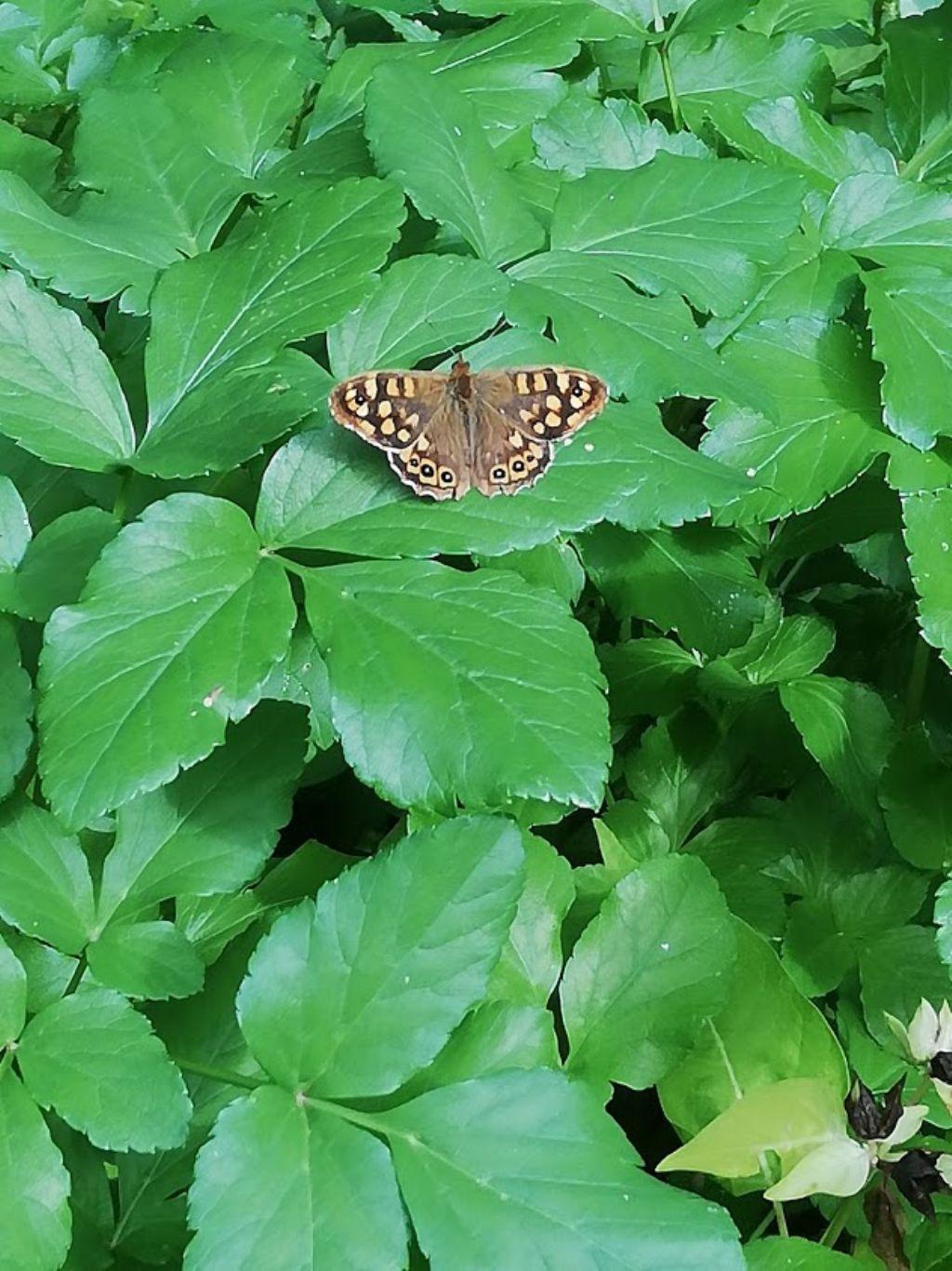 che farfalla è questa? Pararge aegeria (Nymphalidae Satyrinae)