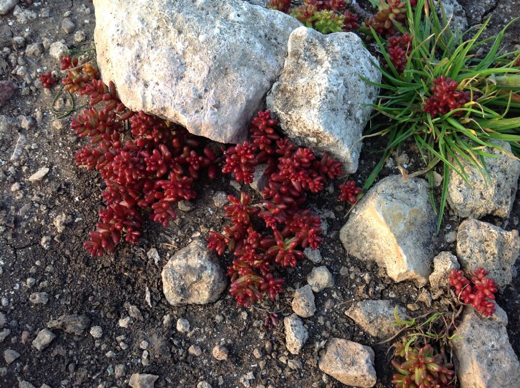 Di che si tratta?  Sedum caeruleum e Sedum caspitosum