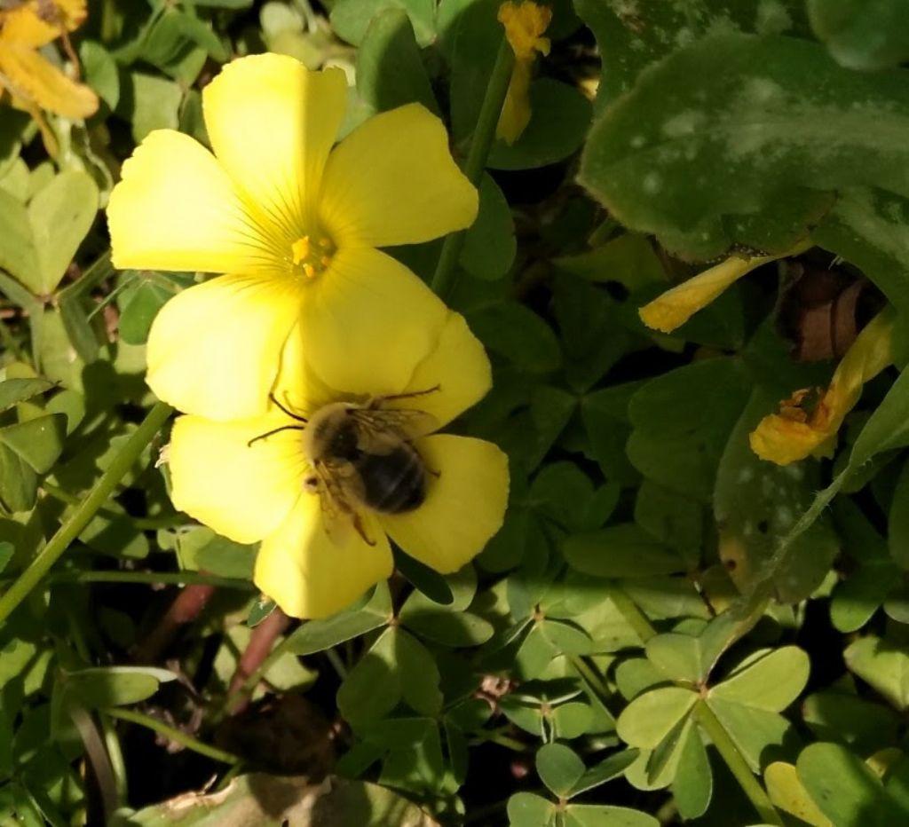 Anthophora? No, Eucera sp. (Apidae)