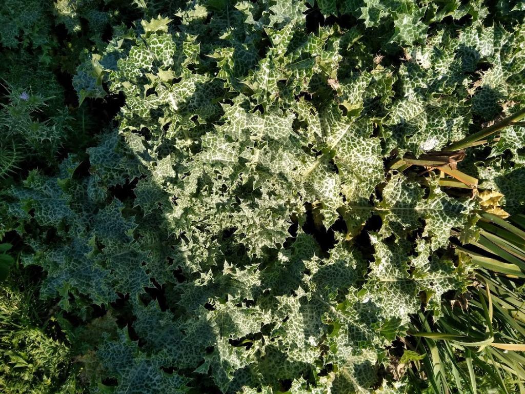 Silybum marianum / Cardo mariano (Asteraceae)