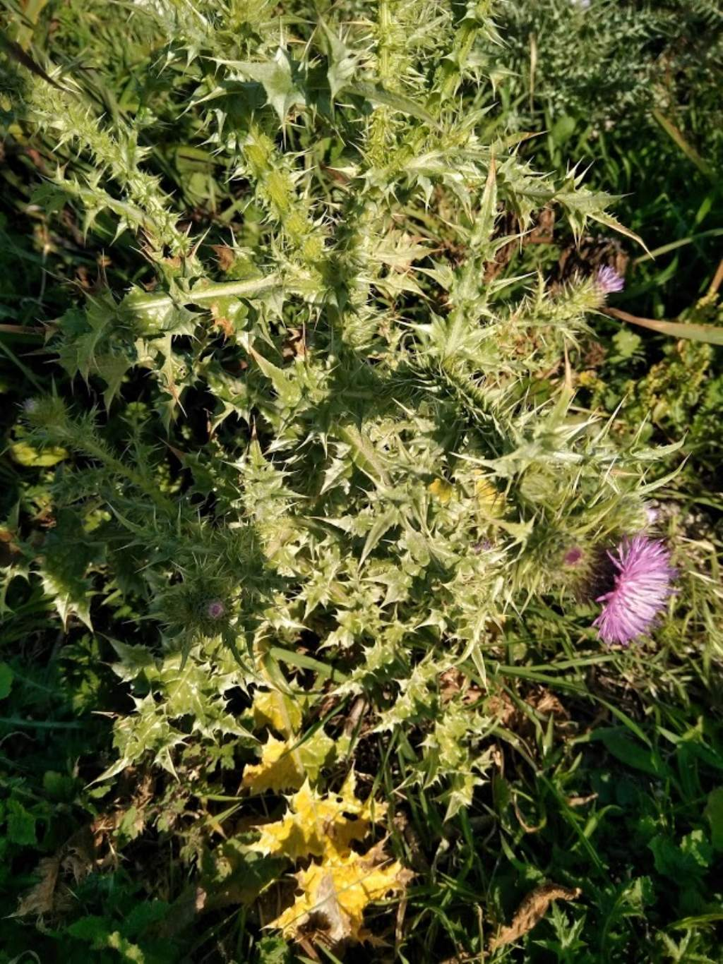 pianta spinosa : Carduus argyroa