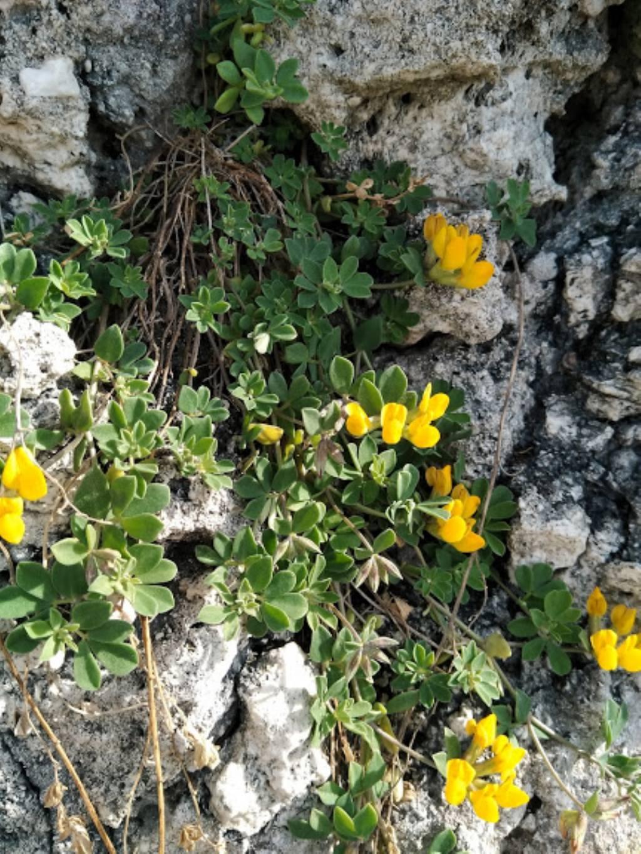 Lotus sp. (Fabaceae)
