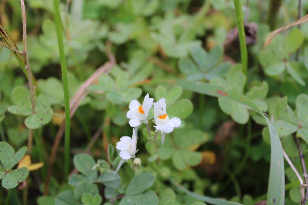 Linaria reflexa (Plantaginaceae)