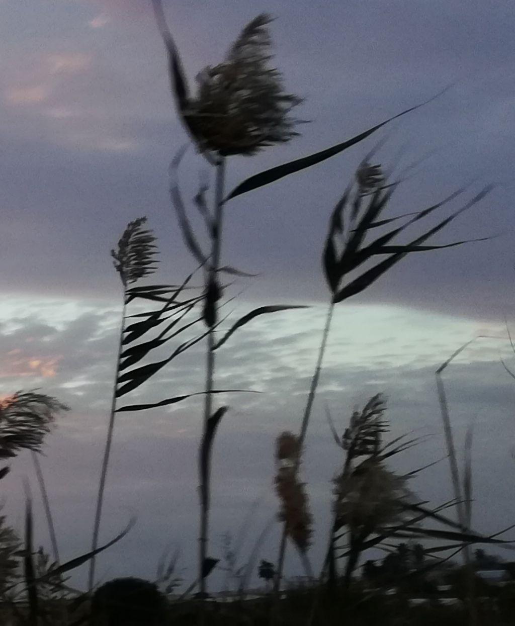 che pianta è questa?  Phragmites australis (Poaceae)