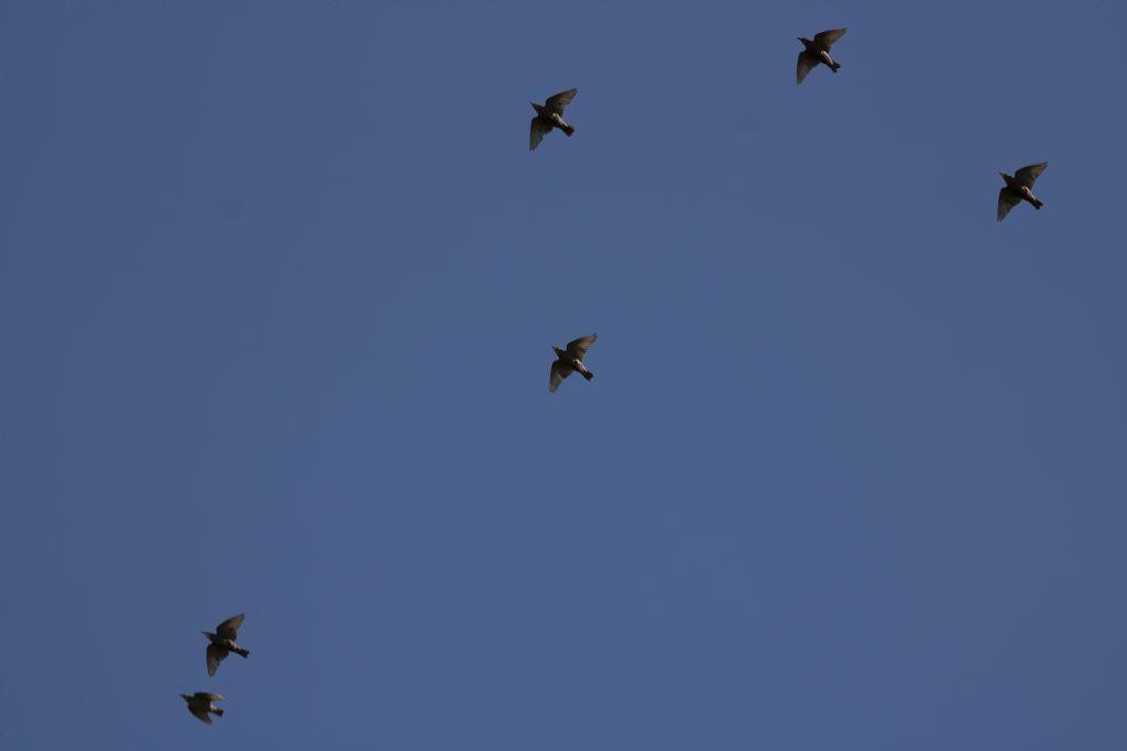Che uccelli sono? Storni !