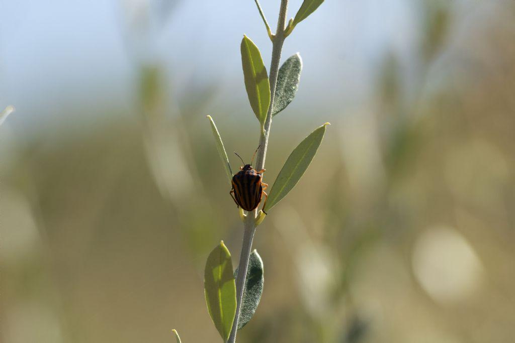Che insetto è?  Pentatomidae: Graphosoma semipunctatum